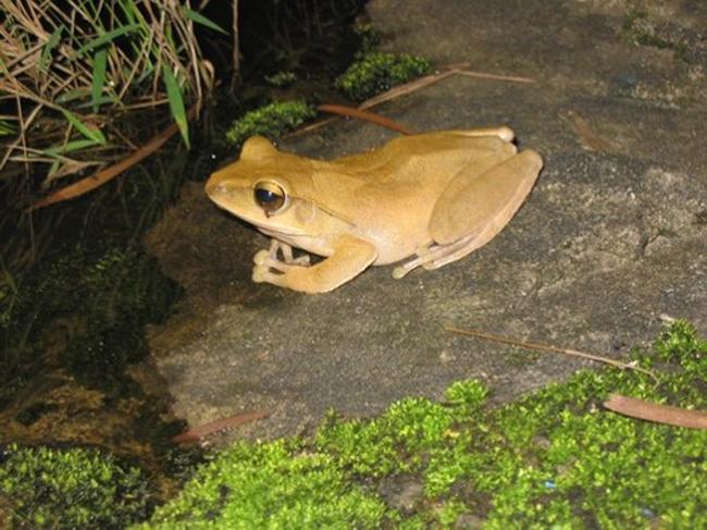 小小生態學家 -斑腿泛榭蛙